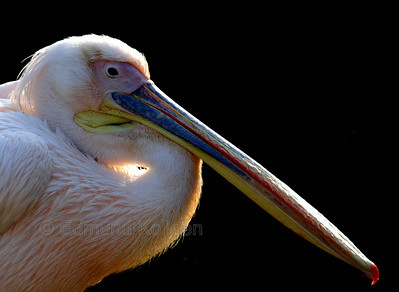 Eastern White Pelican, London Zoo. Nikon D80. 135mm lens.