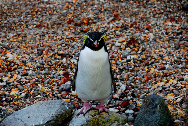 This lone fella was the only penguin left after all its mates had wandered back into its burrows.  Think he was more interested posing for the camera. Taken at London Zoo, NikonD80, 135 mm lens