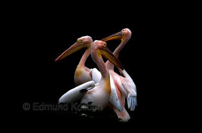 Pelicans, London Zoo,  Nikon D80, 135 mm lens.  Their behaviour at the time reminded me of a trio of dancers on a stage. Like they where adapting its poses to each other.